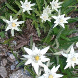 高山植物エーデルワイスの種30粒以上(その他)