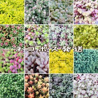 ネコポス発送♡多肉植物 セダム エケベリア 16種類 カット苗 寄せ植えセット(その他)