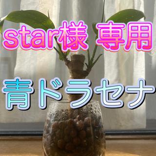 観葉植物 青 ドラセナ(その他)