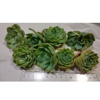 多肉植物 韓国苗 OnsIow 8つ