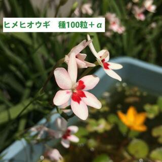 ヒメヒオウギの種 100粒+α 月見草の種オマケ(その他)