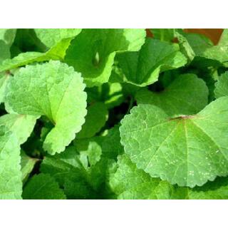 自然農無農薬おかのりの種150粒以上✨(野菜)