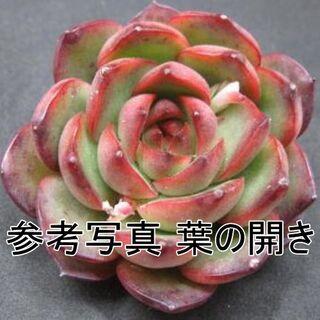 レッドモラン1個 韓国苗エケベリア(その他)