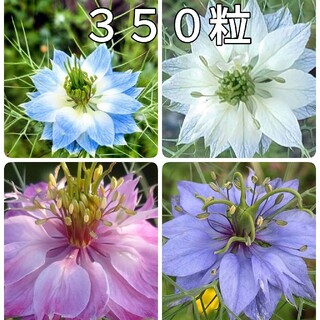 🌺花の種 ニゲラペルシャンジェル(その他)