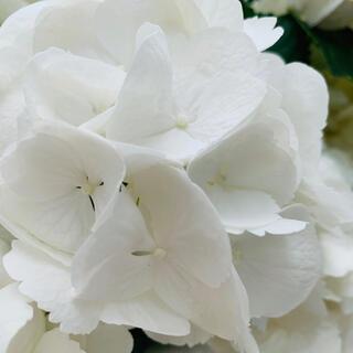 ハイドランジア シュガーホワイト 挿木 苗 (プランター)