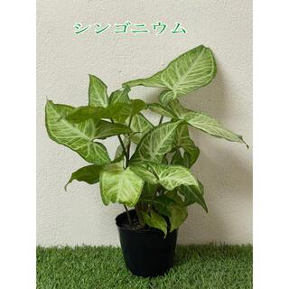 シンゴニウム 複数株植え ポットごと発送 観葉植物 ハートの葉 斑入り(プランター)