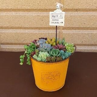 ❀ 多肉植物寄せ植え ❀ ワンちゃんピック ❀ブリキポット(yellow)(プランター)
