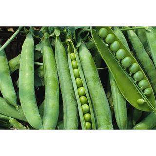 甘くて美味しい!ロンググリーンピース 種30粒(野菜)