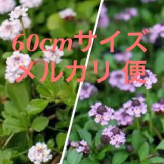 ヒメイワダレソウ   60cmラクマパック‼️(その他)