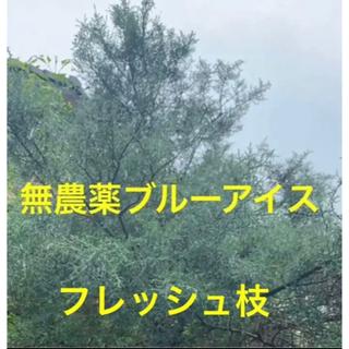 ブルーアイス⭐️フレッシュ枝37cm4本⭐️スワッグ /リース/ 生花など花材に(その他)