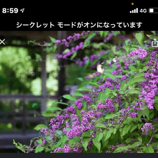 紫式部の小苗  10本(プランター)