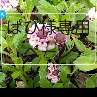 ぱひ様専用ページ ピンクのヒメイワダレソウ 新芽の根付き苗 15本(プランター)
