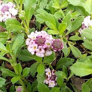ピンクのヒメイワダレソウ 新芽の根付き苗 12本(プランター)