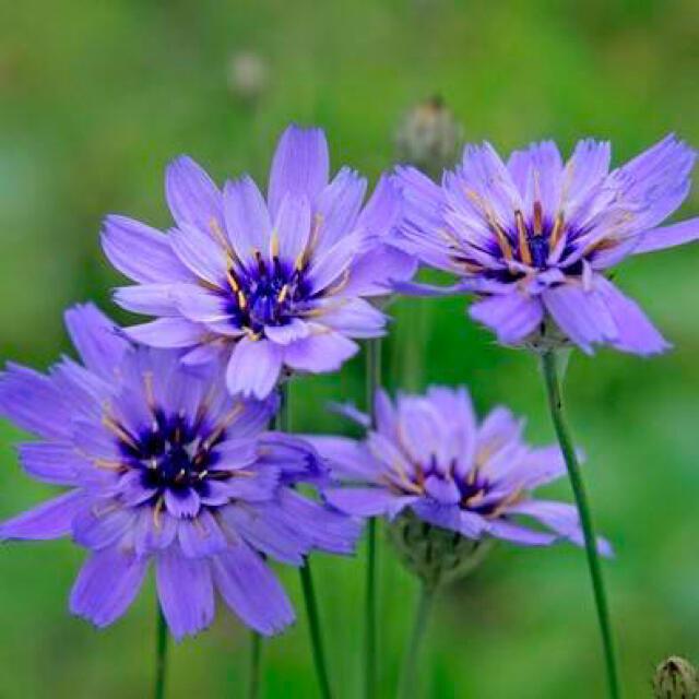 【神秘の紫紺ブルー】カタナンケ☆アモーレブルー 種 10粒! ハンドメイドのフラワー/ガーデン(プランター)の商品写真