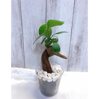 ガジュマル 観葉植物 ハイドロカルチャー(プランター)