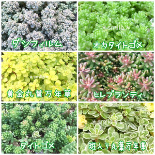 多肉植物 セダム 6種類 カット苗 C