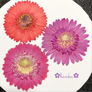 ✿押し花素材✿暖色系ガーベラ3輪セット【直径約7cm】