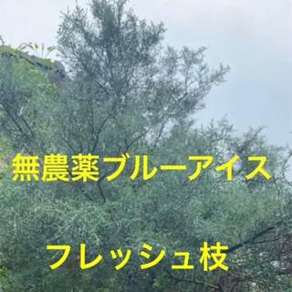 ブルーアイス⭐️フレッシュ枝37cm3本⭐️スワッグ /リース/ 生花など花材に(その他)