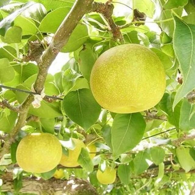 茨城県産 梨 幸水  食品/飲料/酒の食品(フルーツ)の商品写真