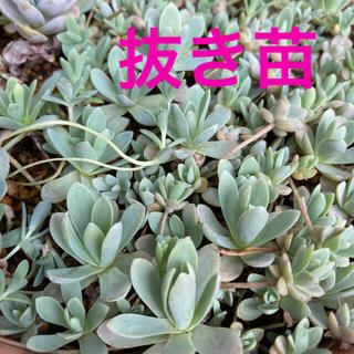 子持ち蓮華 抜き苗 大小10〜15株(プランター)
