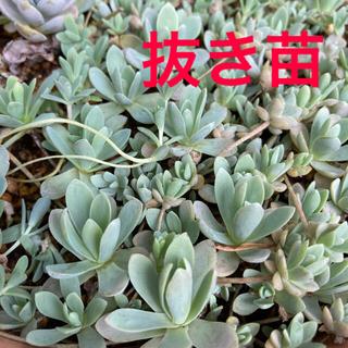 多肉植物✴︎ 子持ち蓮華 10〜15 抜き苗(プランター)