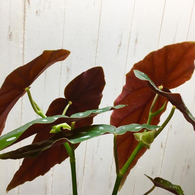 珍種  ベゴニア マクラータ エコプラ鉢 ハンドメイドのフラワー/ガーデン(プランター)の商品写真