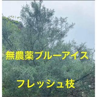 ブルーアイス⭐️フレッシュ枝37cm2本⭐️スワッグ /リース/ 生花など花材に(その他)
