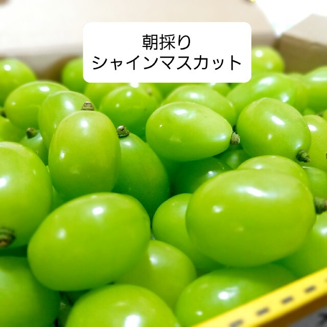 朝採り シャインマスカット 約1キロ 食品/飲料/酒の食品(フルーツ)の商品写真