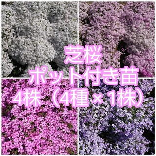 芝桜 ポット付き苗 4株(4種 × 1株)(その他)