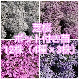 芝桜 ポット付き苗 12株(4種 × 3株)(その他)