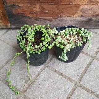 斑入りグリーンネックレスとエンジェルティアーズのセット  抜き苗