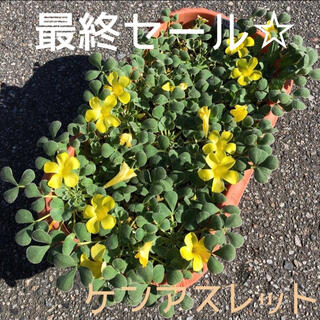 ☆残わずか☆値下げ☆オキザリス ケンアスレット 球根 10個 KenAslet(プランター)