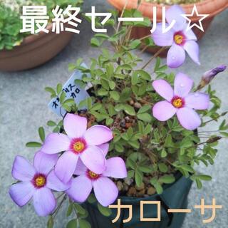 ☆残わずか☆値下げ☆オキザリス カローサ 球根 7個 Callosa(プランター)