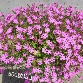 シレネピンクパンサーの種 500粒(その他)