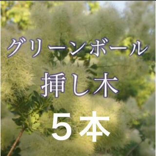 スモークツリー グリーンボール 挿し木 5本(ドライフラワー)