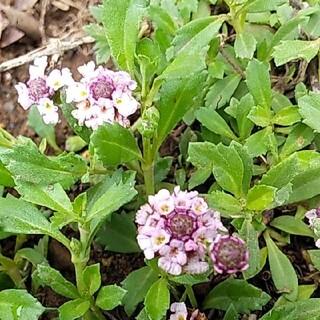 ピンクのヒメイワダレソウ 新芽の根付き苗 15本(プランター)