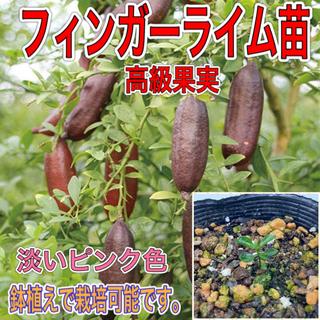 フィンガーライム苗 1鉢(プランター)