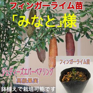 フィンガーライム名 1鉢(プランター)