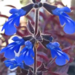 花の苗 宿根サルビア  コスミックブルー 苗(その他)