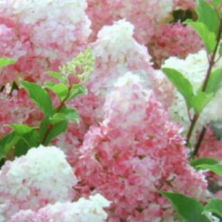 紫陽花 挿し木 バニラストロベリー 3本