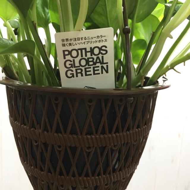 新品種!  ポトス グローバルグリーン 5号吊り鉢 ハンドメイドのフラワー/ガーデン(プランター)の商品写真