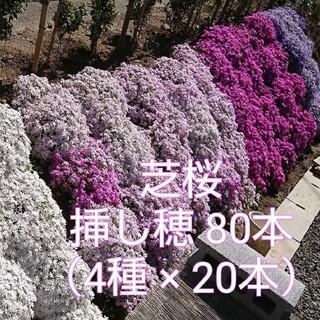芝桜 挿し穂 80本(4種×20本)(その他)