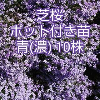 芝桜 ポット付き苗 青(濃) 10株(その他)