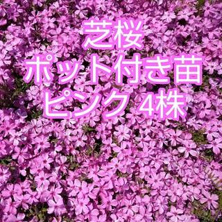 芝桜 ポット付き苗 ピンク4株(その他)