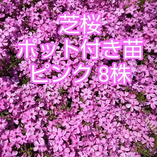 芝桜 ポット付き苗 8株(その他)