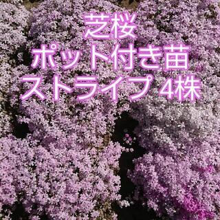 芝桜 ポット付き苗 ストライプ4株(その他)