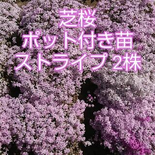芝桜 ポット付き苗 ストライプ2株(その他)