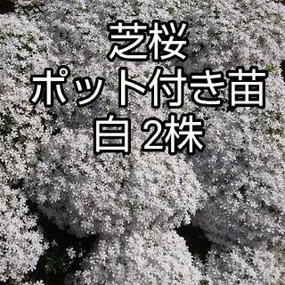 芝桜 ポット付き苗 白2株(その他)