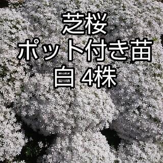 芝桜 ポット付き苗 白4株(その他)
