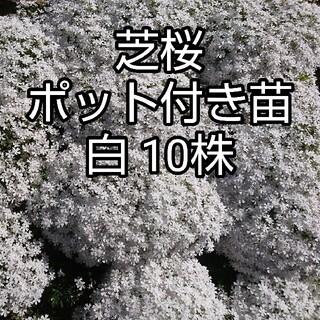芝桜 ポット付き苗 白10株(その他)